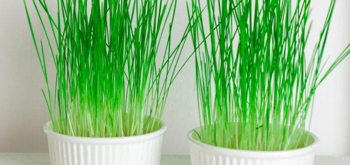 jak uprawiać trawę pszeniczną w domu